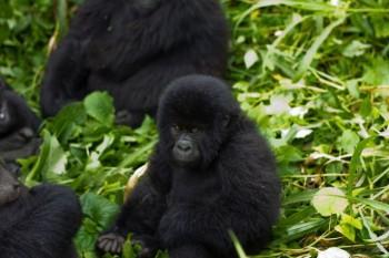 na-vodi_gorila