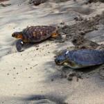 na-vodi_male-morske-kornjace-01