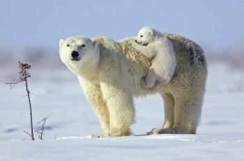 na-vodi_beli-medvedi