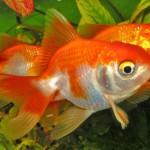 na-vodi_zlatne-ribice