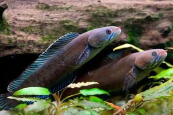na-vodi_ribe-himalaji