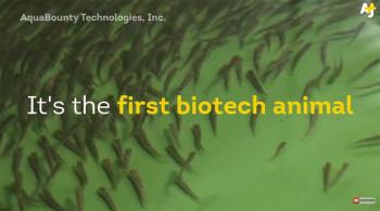 na-vodi_GMO-losos