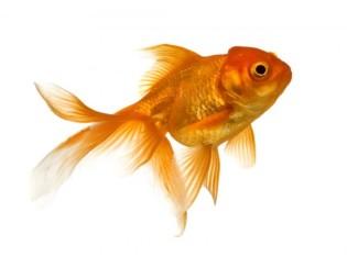 na-vodi_zlatna-ribica