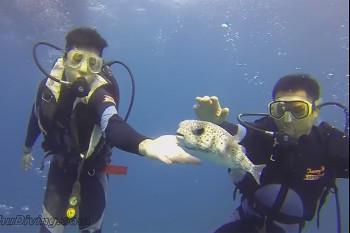 na-vodi_puffer-fish