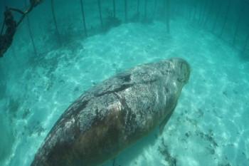 NA_VODI_dugong02